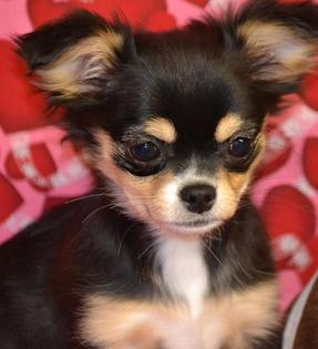 ... Long Hair Chihuahua Puppies for Sale Female Teacup Chihuahuas for Sale